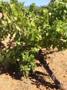 Grape Plants 2